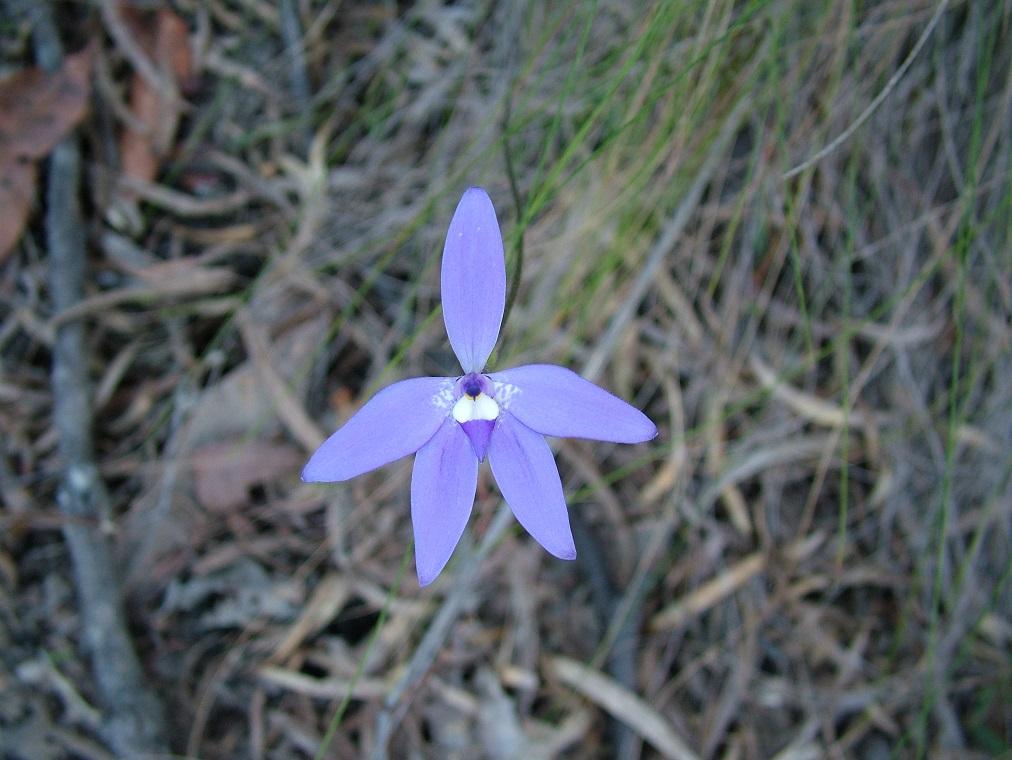 Glossodia Major Orchid